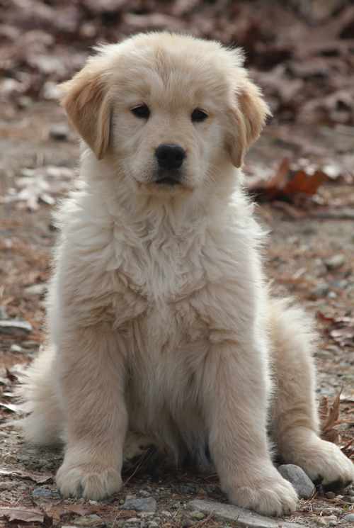 Golden Retriever Breeders In Ma LazyDaze Farm - Golden...