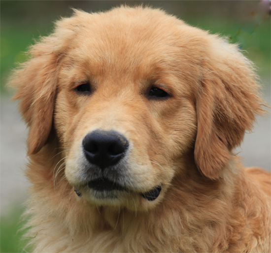 Golden retriever breeders massachusetts